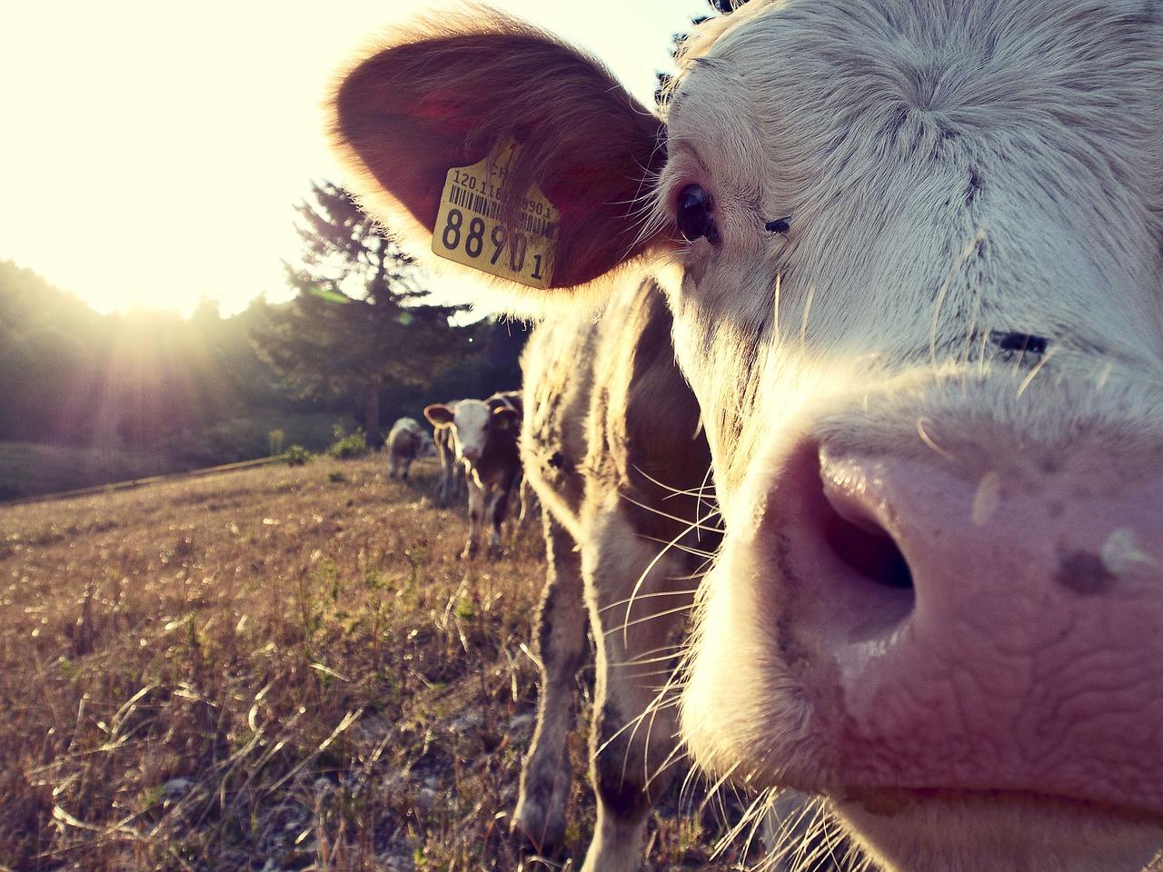 cow-932817_1280